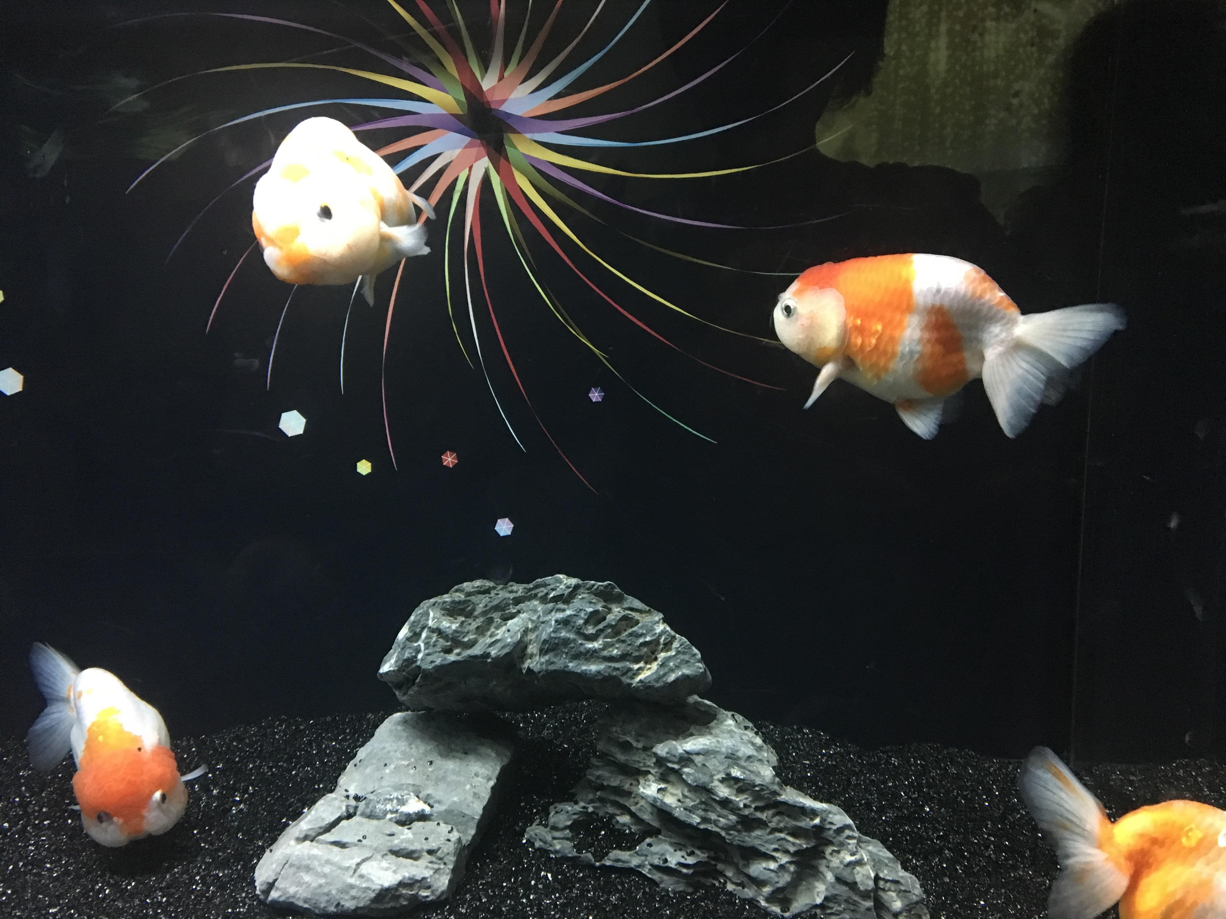 金魚の家族